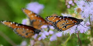 butterflies basic facts about butterflies defenders of wildlife
