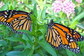 milkweed bring back the monarchs