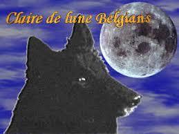 belgian sheepdog california claire de lune belgians