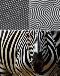 pattern formation zebra sciber how can we apply physics to biology