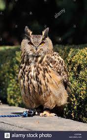 tisch family zoological gardens long eared owl in the gardens of the czech castle prague czech
