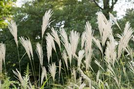 plant database pace biofuel production