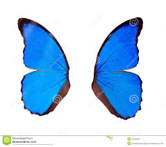 wings blue butterfly isolated on white stock image image of