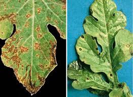 Okra Plant Diseases - ipm illinois fruit and vegetable news volume 11 issue 14