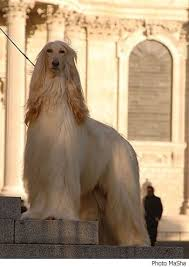 afghan hound king of dogs i u0027m a proud owner of an afghanhound elegant afghan hounds
