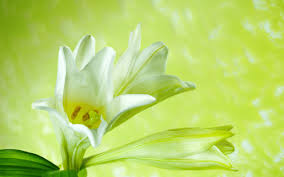 free desktop wallpapers 42 wide lilies hdq pictures p 76