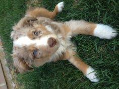 1 year old toy australian shepherd toy aussie dogs of our lives pinterest toy aussie doggies