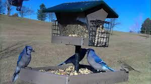 backyard bird feeding tufted titmouse chickadee goldfinch