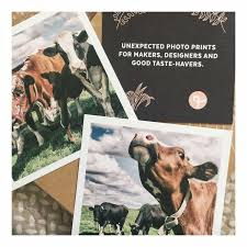 color photography farmhouse home decor cows grazing brown and