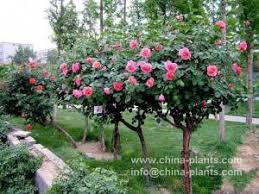 buy bare root trees for sale tree