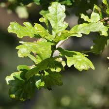 ornamental trees from best 4 hedging the uk experts in trees hedging
