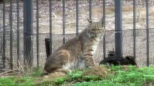 caught on tape bobcat sneaks into backyard nbc 7 san diego