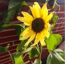 fun sunflower facts sprout world us