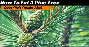 pine how to eat a pine tree to survive