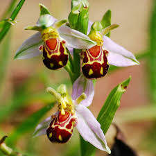 orchid flower china bee orchid flower 100 seeds preservebees