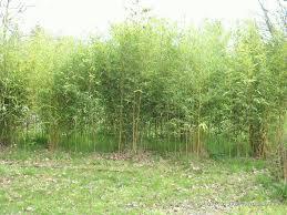 sorte de bambou haie avoir rapidement forum du jardinage amateur