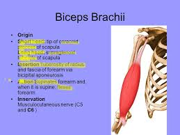 Bicep Innervation Test Next Class Due Flashcards Not Optional Muscle Group