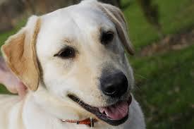 how to make homemade dog food for labradors cuteness
