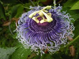Heat Tolerant Plants Passiflora Hybrids Tagged
