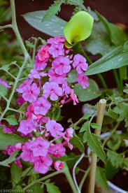 victorian native plants garden phlox phlox paniculata u2014 heritage garden