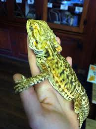 bearded dragons who are suffering from terrible eye problems due to the use of coil uvb bulbs color ff00ff this poor leather couldn t even open his