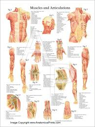 The Human Anatomy Muscles Muscles And Articulations Anatomy Poster