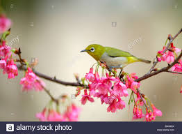 japanese white eye perching on a cherry blossom tree branch side