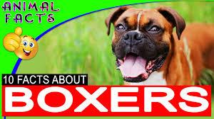 pembroke welsh corgi dogs 101 corgi dog pembroke u2013 animal facts