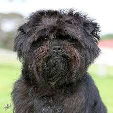 affenpinscher pics affenpinscher dogs and puppies