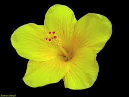 Yellow Hibiscus Flowers - hibiscus flowers pictures yellow hibiscus flower 3