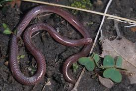 Plains Blind Snake Life Is Short But Snakes Are Long Screech Owls And Blindsnakes