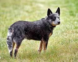 australian shepherd yellow lab mix blue heeler australian cattle dog training tips