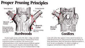 proper pruning principles trees kingsway greenhouse kingsway