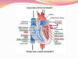 Anatomy Of Heart Valve The Heart As A Pump And Function Of The Heart Valves