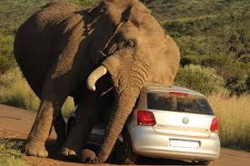 african safari car elephant crushes car on african safari exclusive video
