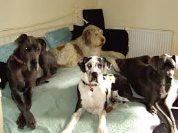 the great dane holidays4dogs home boarding for dogs