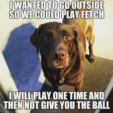 Chocolate Lab Meme - let s play chuckie the chocolate lab teamchuckie uploaded by