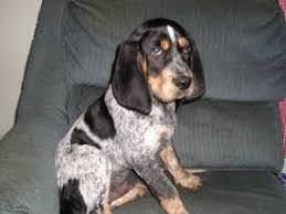 bluetick coonhound fun facts animals a z