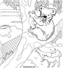 7115 koalas images koalas koala bears animals