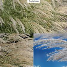 56 best grasses clump forming non invasive images on