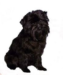 affenpinscher terrier mix small non shedding dogs small dog place
