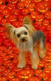 haircuts for yorkies with thin hair yorkie hairstyles yorkies dog and animal