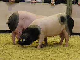 basque pig wikipedia