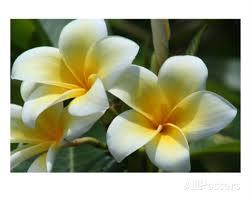 plumeria flower plumeria flower essence isha lerner healing remedy