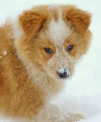 australian shepherd mix with border collie puppy dog training border collie aussie mix information