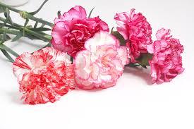 carnation flowers carnation flowers the birth flower for january kremp florist