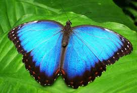 blue morpho butterfly facts information pictures