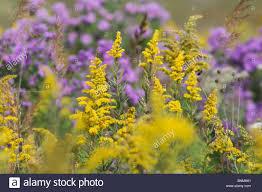 Fall Flowers Fall Flowers Near Hooppole Illinois Usa Meadow Nature Flowers
