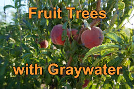 growing fruit trees with graywater in the desert youtube