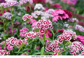 sweet william flowers sweet william flowers stock photos sweet william flowers stock